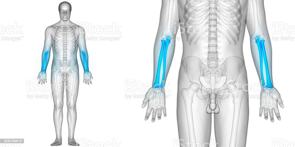 Human Skeleton Radius And Ulna Bones Stock Photo & More Pictures of ...