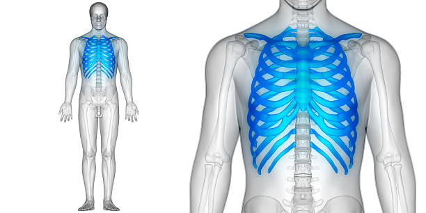 Royalty Free Sternum Pictures, Images and Stock Photos - iStock