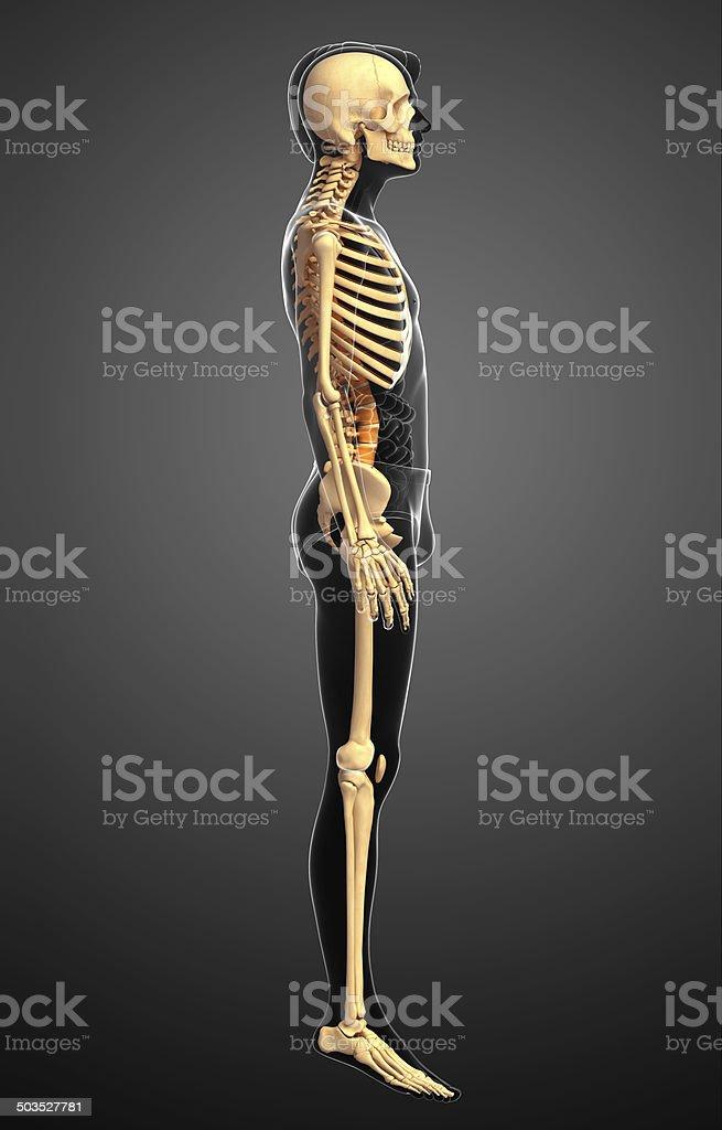 Vista Lateral De Esqueleto Humano - Stock Foto e Imagen de Stock ...