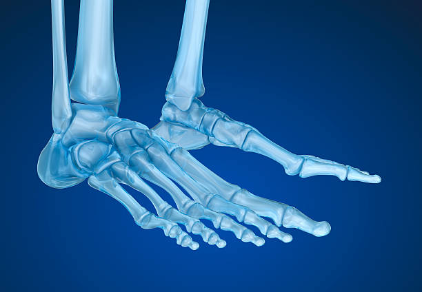 human skeleton: skeletal foot. medically accurate 3d illustration - os du pied photos et images de collection