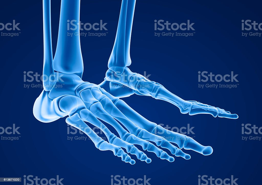 Human skeleton: skeletal foot. Medically accurate 3D illustration stock photo