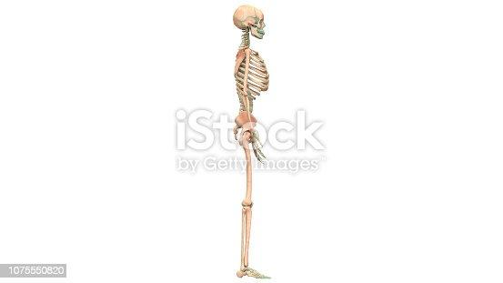 istock Human Skeleton System Anatomy 1075550820