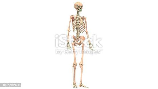 istock Human Skeleton System Anatomy 1075552406