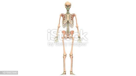 istock Human Skeleton System Anatomy 1075552550