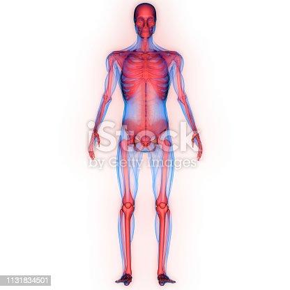 136191596istockphoto Human Skeleton System Anatomy 1131834501