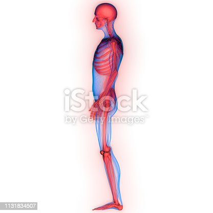136191596istockphoto Human Skeleton System Anatomy 1131834507
