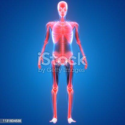 136191596istockphoto Human Skeleton System Anatomy 1131834535