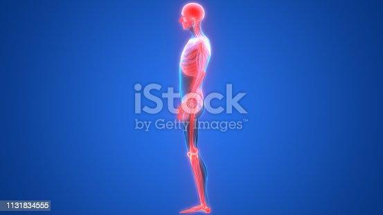 136191596istockphoto Human Skeleton System Anatomy 1131834555