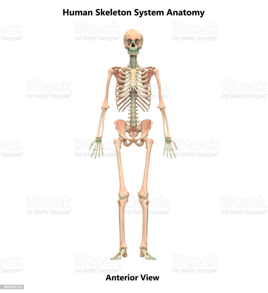 Human Skeleton System Anatomy Stock Photo More Pictures Of Anatomy