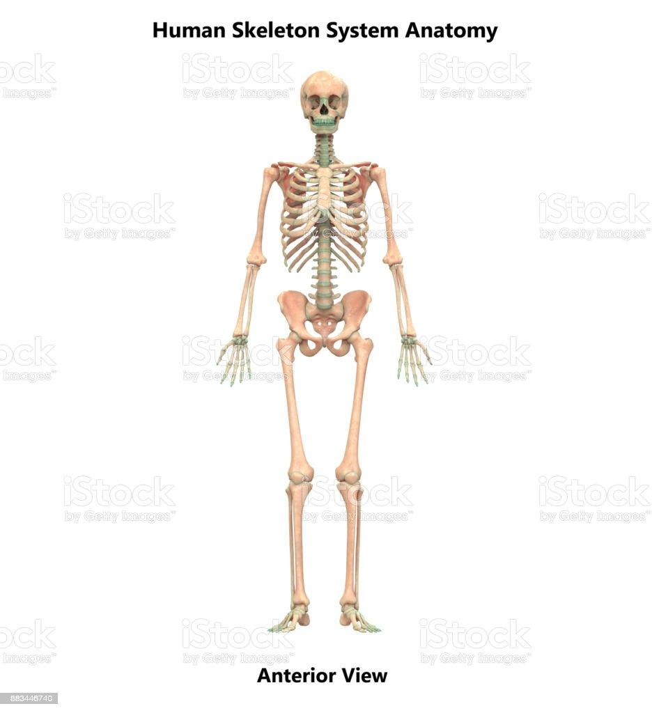 Fotografía de Anatomía De Sistema Esqueleto Humano y más banco de ...