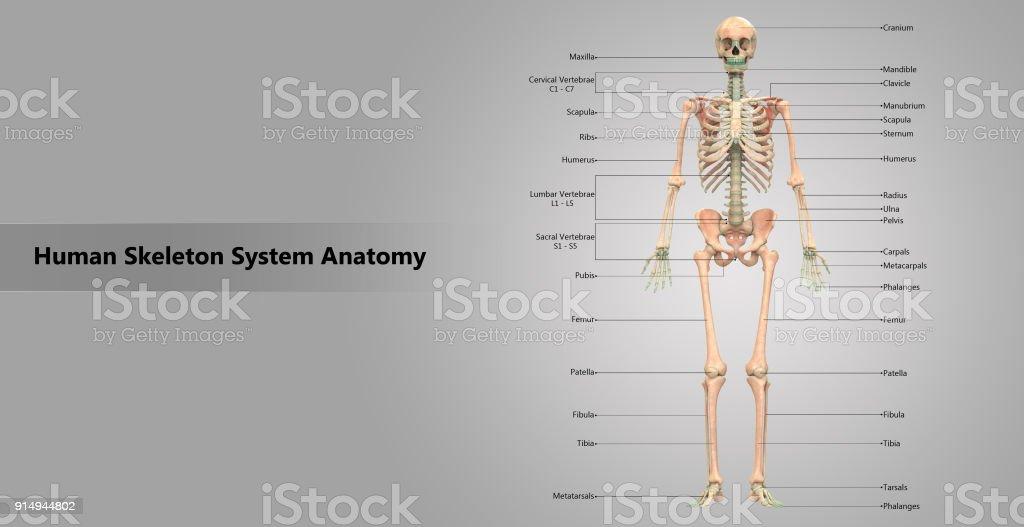 Nett Skelett System Anatomie Zeitgenössisch - Menschliche Anatomie ...