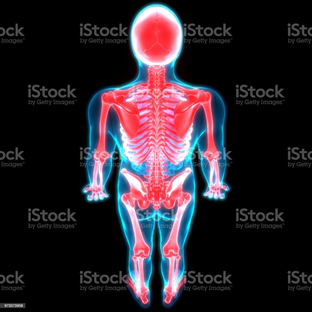 Anatomie Der Menschlichen Skelettsystem Stock-Fotografie und mehr ...