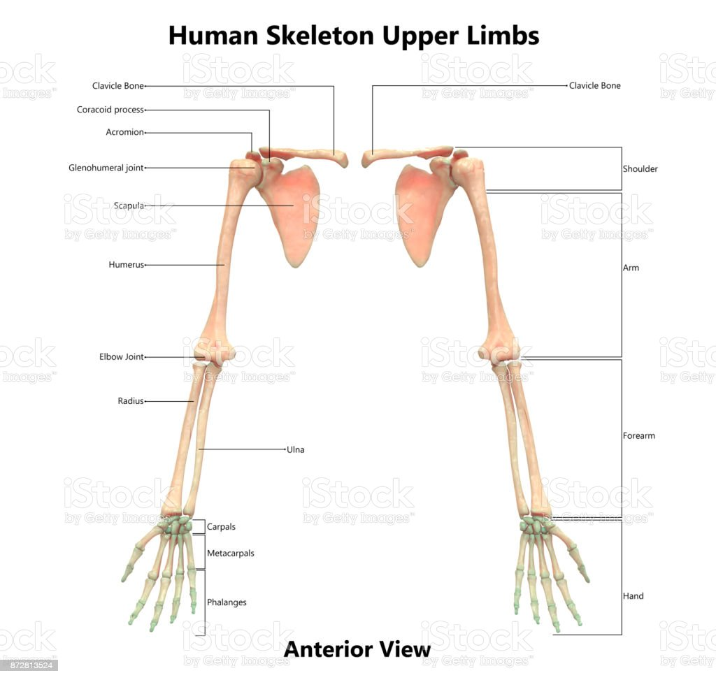 Human Skeleton System Anatomy With Detailed Labels Anterior View ...