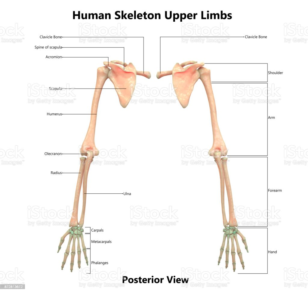 Human Skeleton System Anatomy With Detailed Labels Posterior View ...