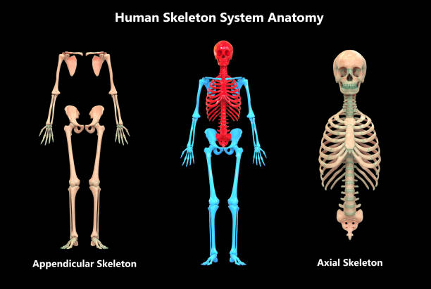 Human Skeleton System Appendicular and Axial Skeleton Anatomy 3D Illustration of Human Skeleton System Appendicular and Axial Skeleton Anatomy human rib cage stock pictures, royalty-free photos & images