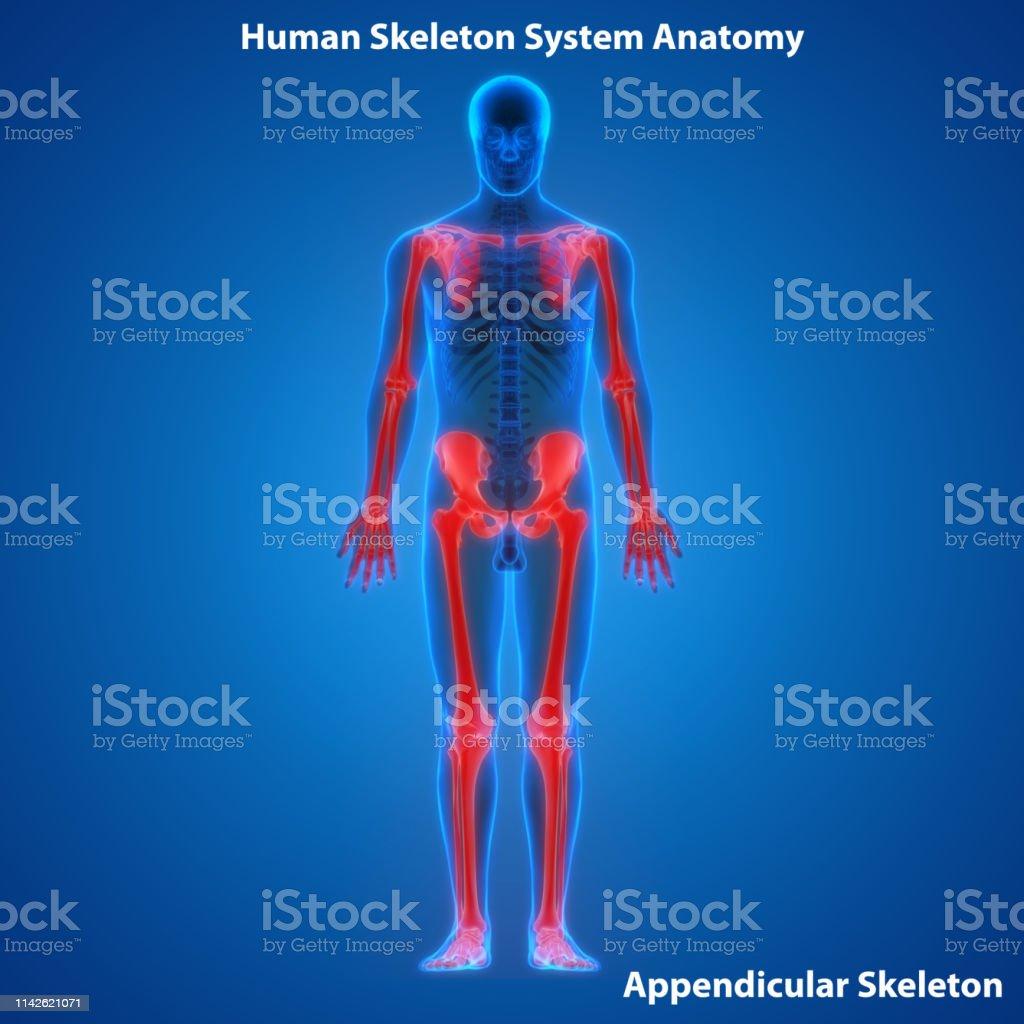 3D Illustration of Human Skeleton System Appendicular Skeleton Anatomy