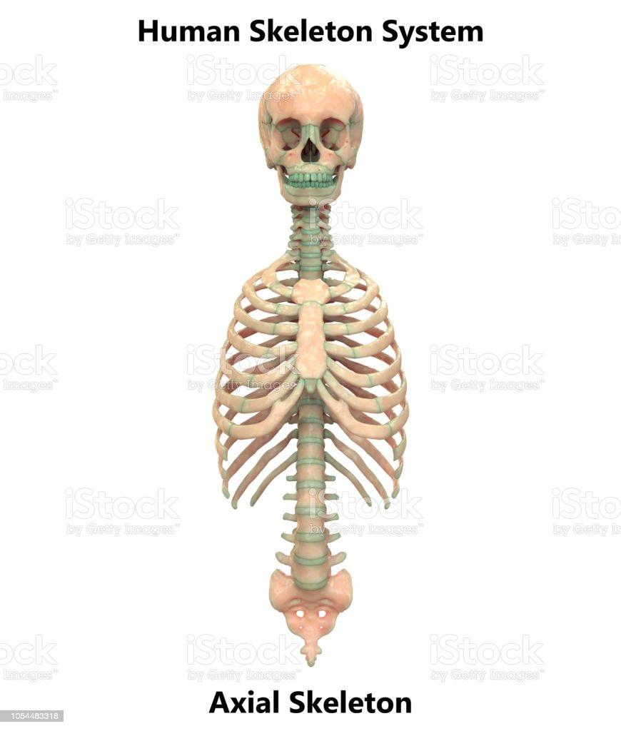 Photo Libre De Droit De Anatomie Du Squelette Axial Systeme Squelette Humain Banque D Images Et Plus D Images Libres De Droit De Anatomie Istock