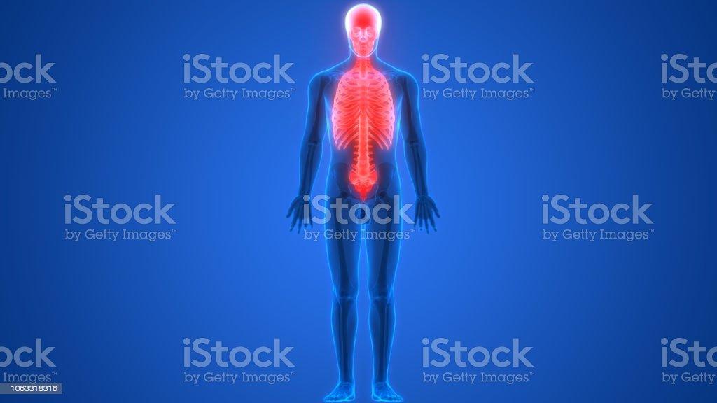 3D Illustration of Human Skeleton System Axial Skeleton Anatomy