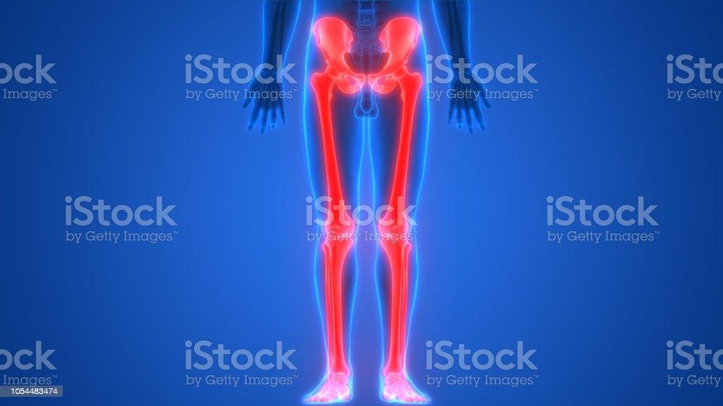 Human Skeleton System Bone Joints Lower Limbs Anatomy Stock Photo