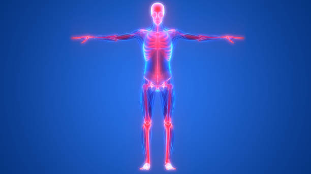 human skeleton system bones anatomy - tessuto umano foto e immagini stock