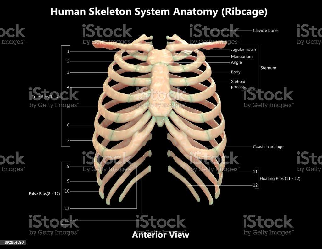 Sistema Esquelético Humano Detalle Etiquetas Anatomía Anterior ...