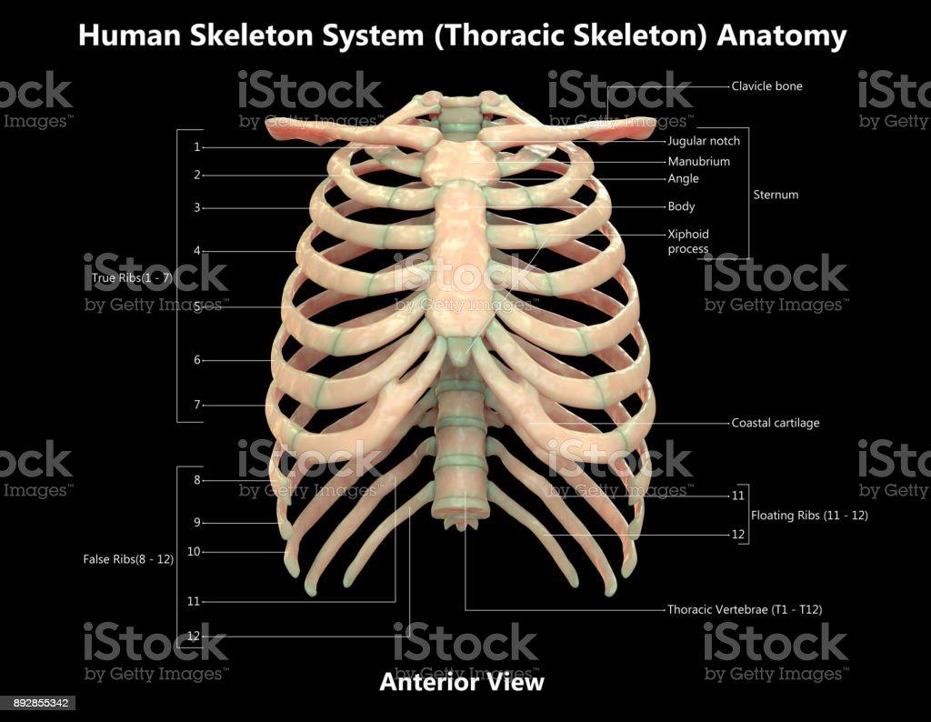 Fotografía de Sistema Esquelético Humano Detalle Etiquetas Anatomía ...