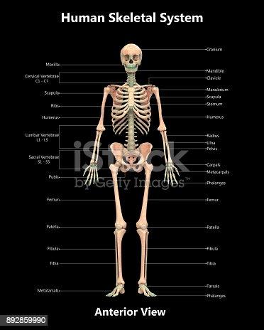 istock Human Skeleton System Detailed Labels Anatomy Anterior View 892859990
