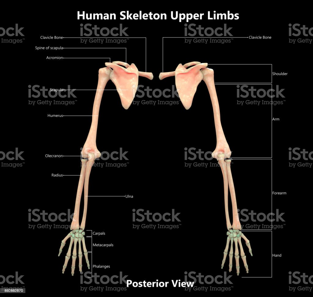 Human Skeleton System Detailed Labels Anatomy Posterior View Stock