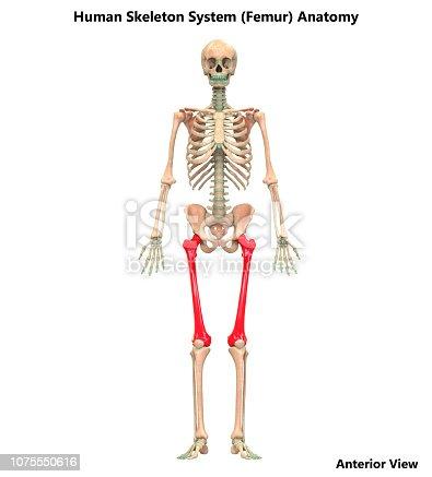 istock Human Skeleton System Femur Bone Joints Anatomy 1075550616