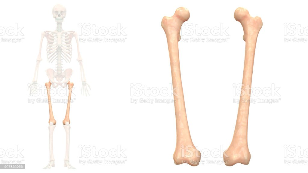 Human Skeleton System Femur Bones Anatomy Anterior View Stock Photo ...