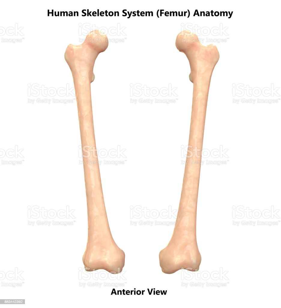 Human Skeleton System Femur Bones Anatomy Stock Photo More
