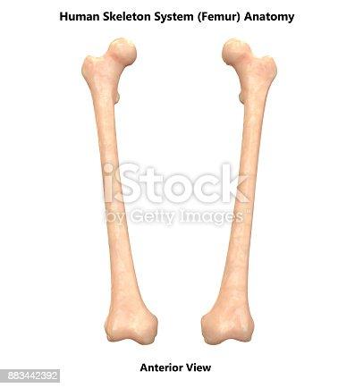 Human Skeleton System Femur Bones Anatomy Stock Photo More