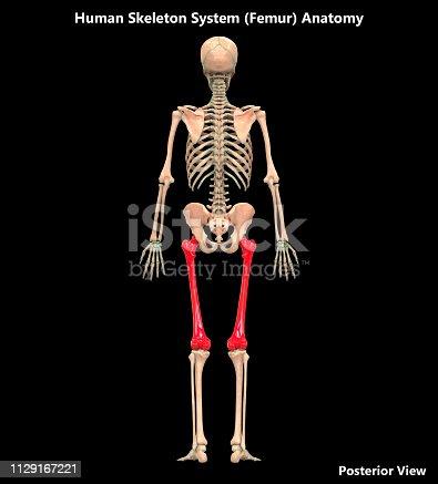 136191596istockphoto Human Skeleton System Femur Posterior View Anatomy 1129167221