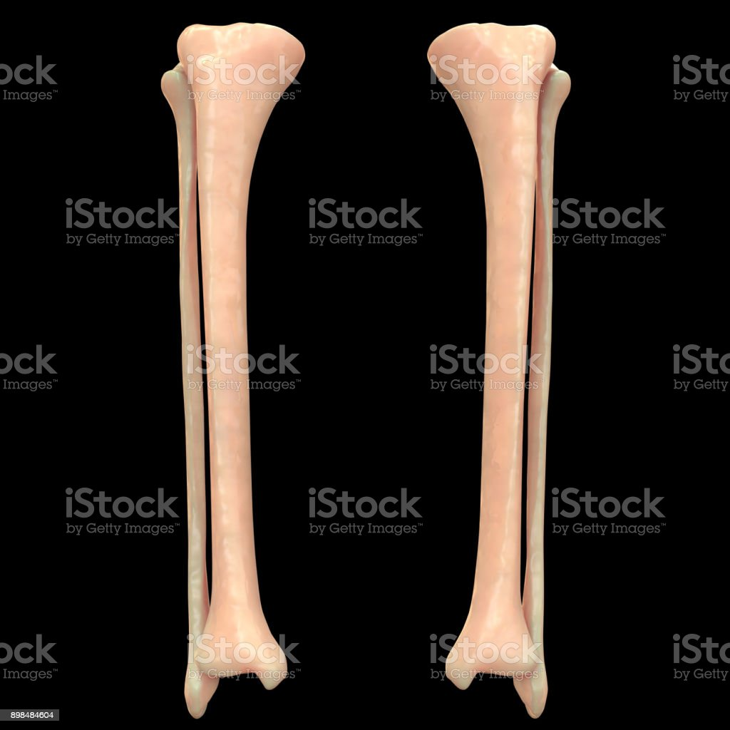 Human Skeleton System Fibula And Tibia Anatomy Stock Photo & More ...