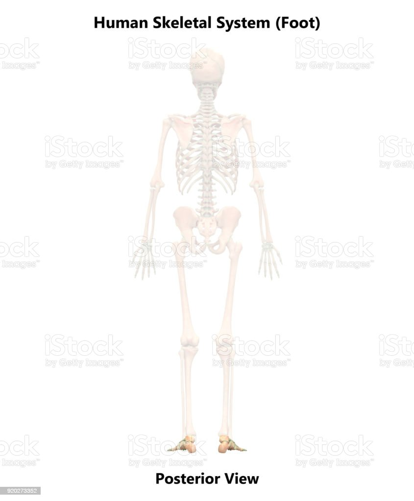 Human Skeleton System Foot Anatomy Stock Photo & More Pictures of ...