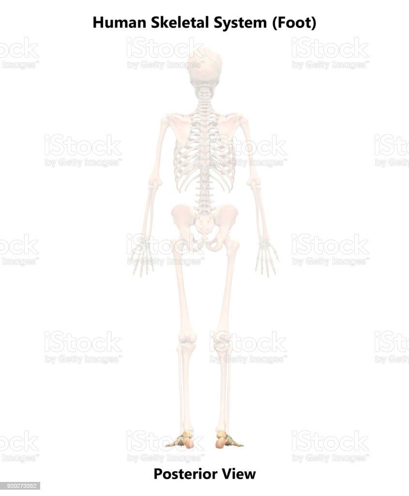 Human Skeleton System Foot Anatomy (Posterior View) stock photo