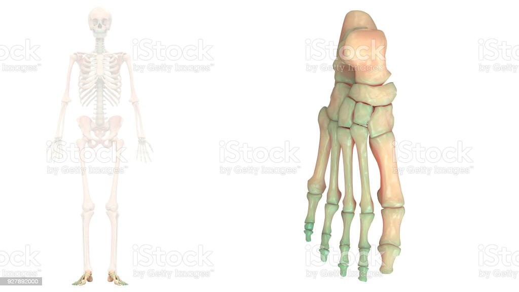 Human Skeleton System Foot Joints Anatomy Anterior View Stock Photo