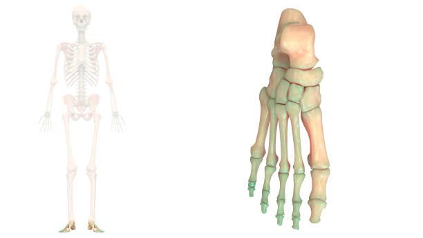 Human Skeleton System Foot Joints Anatomy Anterior View stock photo