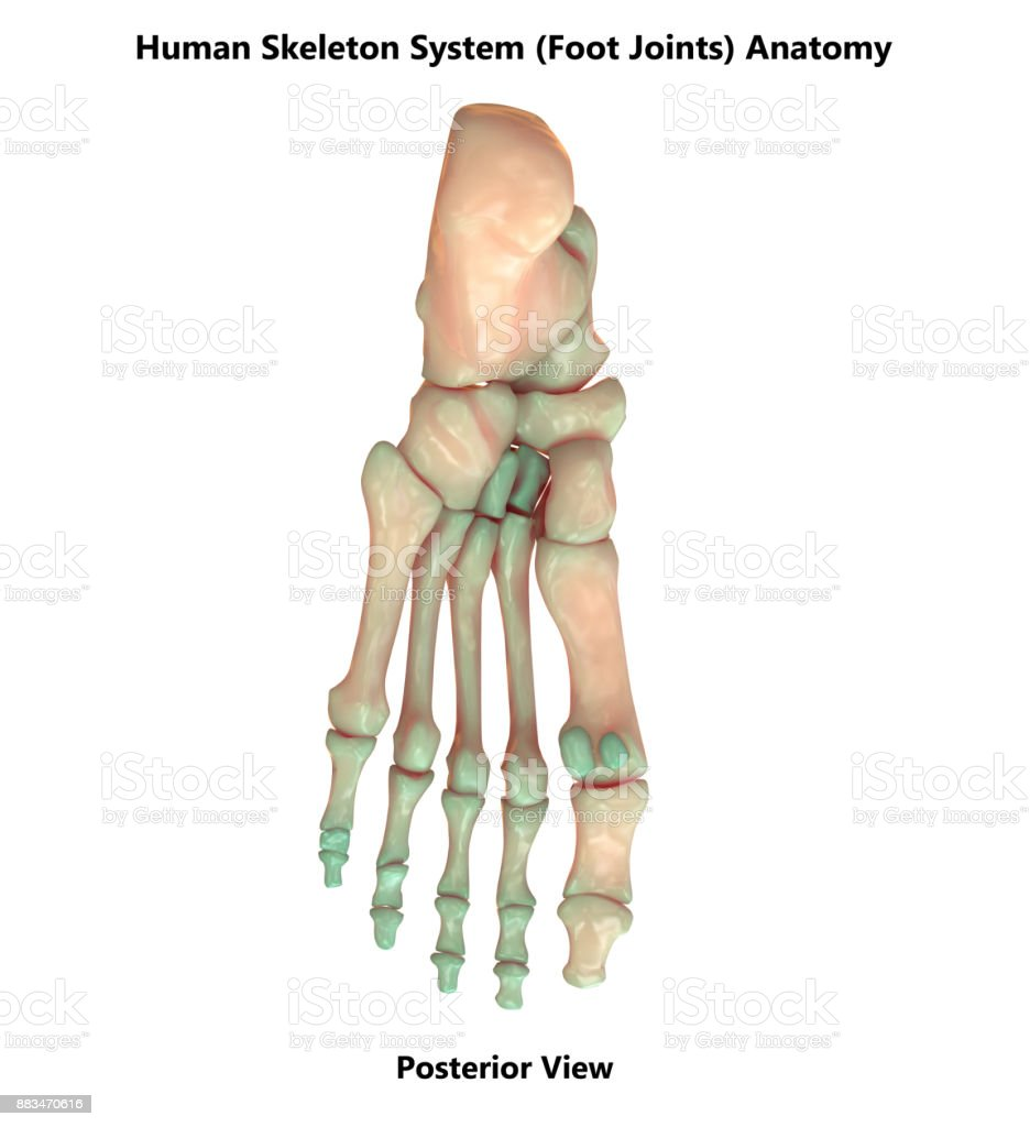 Human Skeleton System Foot Joints Anatomy Stock Photo & More ...