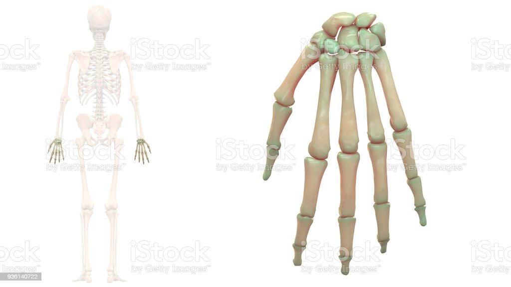 Dorable Anatomía Y Fisiología Clep Motivo - Imágenes de Anatomía ...