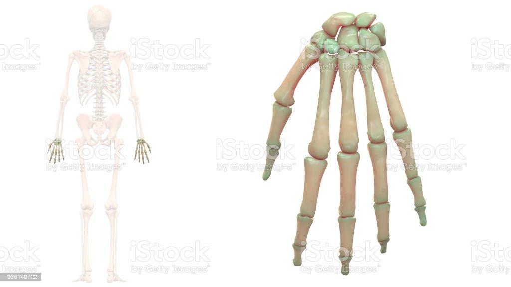 Human Skeleton System Hand Bones Anatomy Stock Photo & More Pictures ...