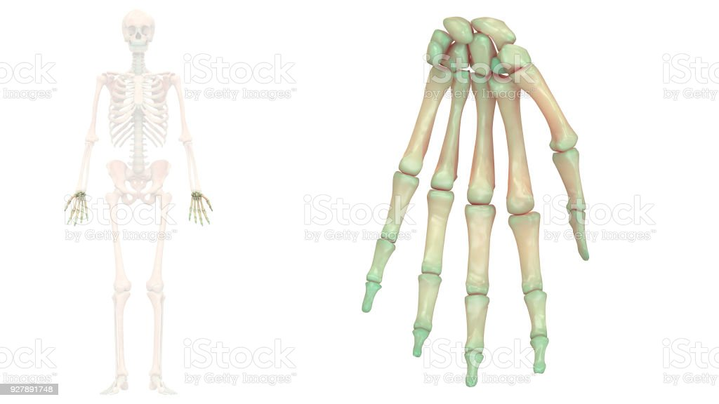 Human Skeleton System Hand Joints Anatomy Anterior View Stock Photo