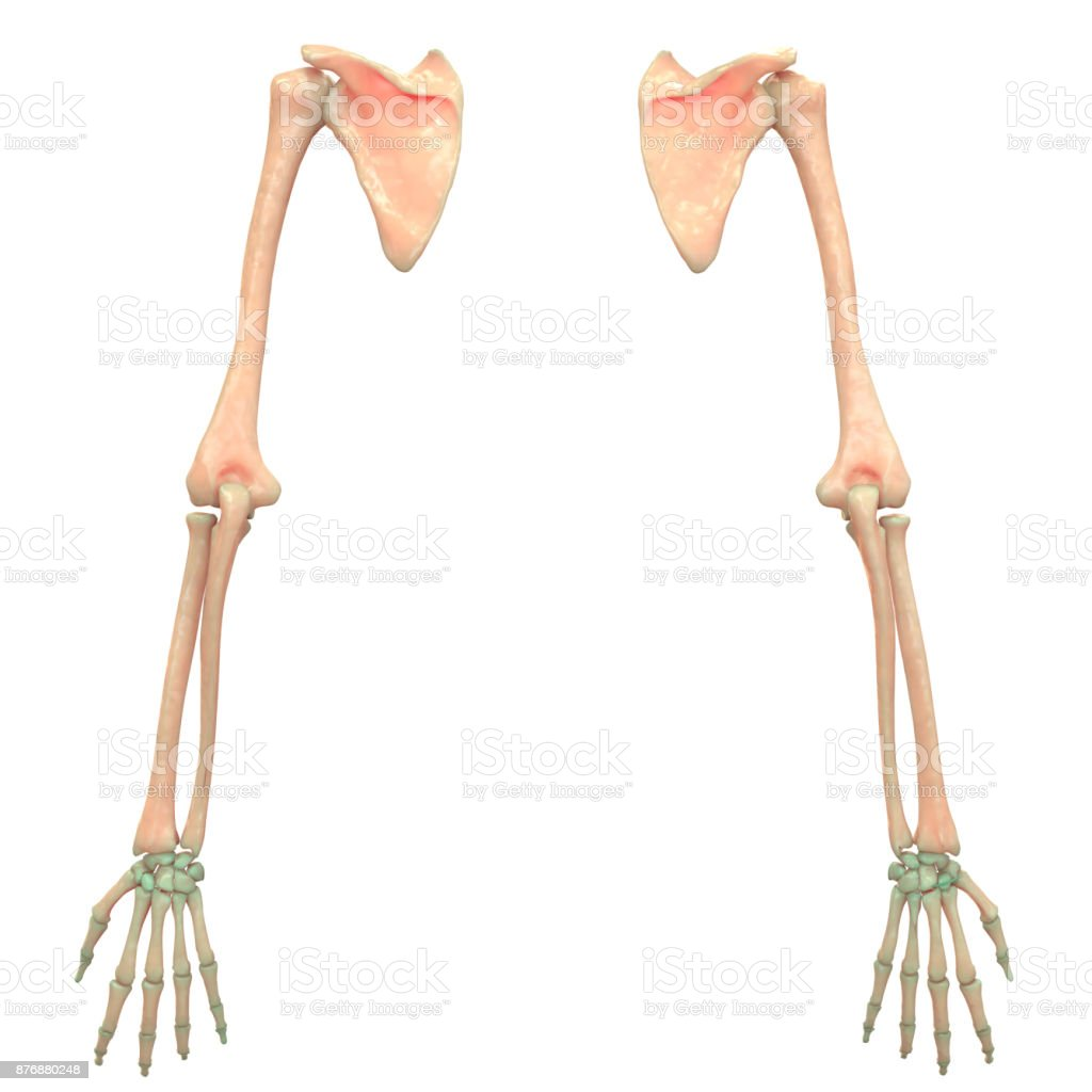 Human Skeleton System Hand Joints Anatomy Stock Photo More
