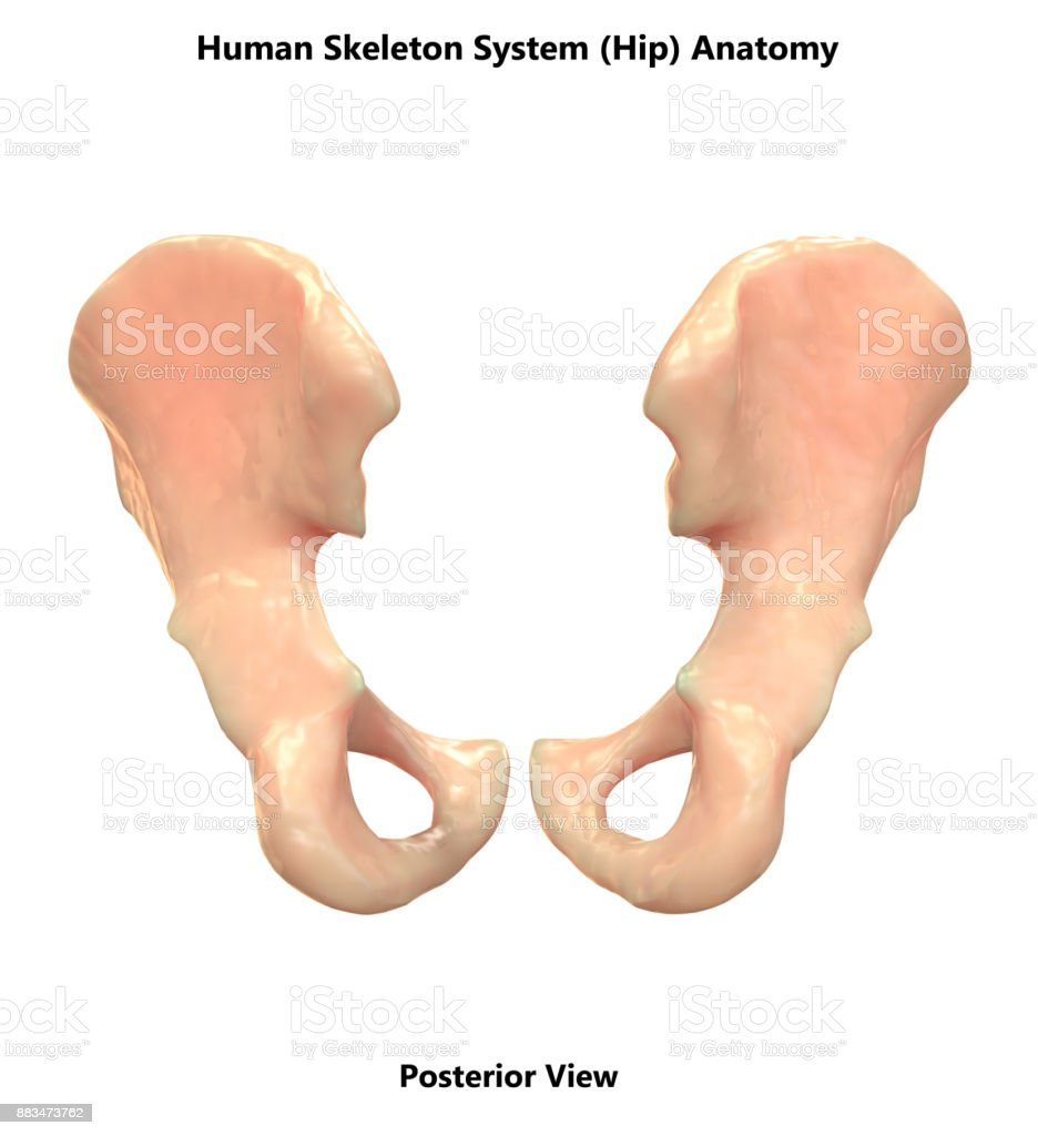 Human skeleton system hip anatomy stock photo more pictures of human skeleton system hip anatomy posterior view royalty free stock photo ccuart Image collections