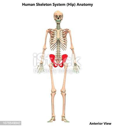 istock Human Skeleton System Hip Bone Joints Anatomy 1075549342