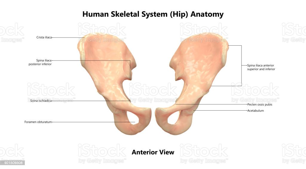 Human Skeleton System Hip With Labels Anatomy Stock Photo More