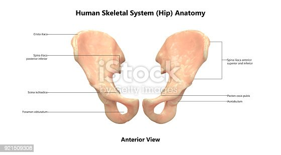 istock Human Skeleton System Hip with Labels Anatomy (Anterior View) 921509308