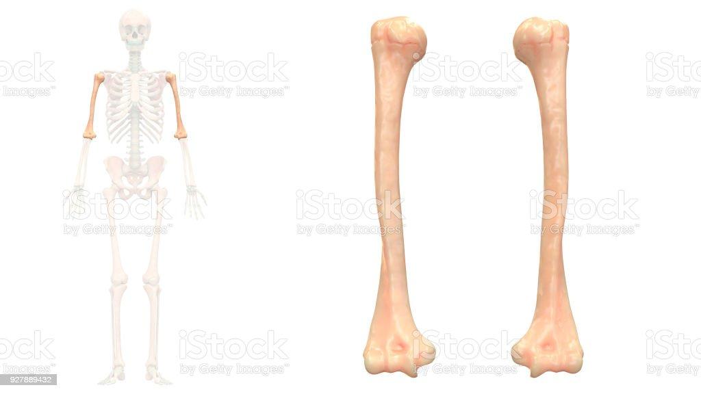 Human Skeleton System Humerus Anatomy Anterior View Stock Photo