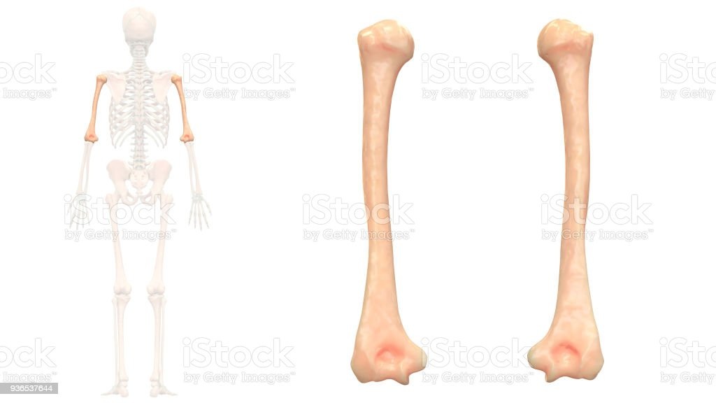 Human Skeleton System Humerus Anatomy Stock Photo & More Pictures of ...