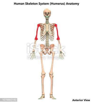 istock Human Skeleton System Humerus Bone Joints Anatomy 1075552152